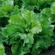 Endive Encornet de Bordeaux - Appx 1,200 seeds